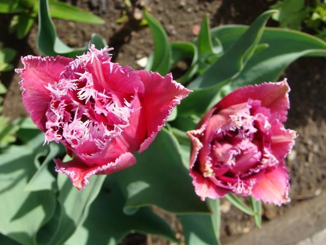 Тюльпаны - Страница 8 17263415_m