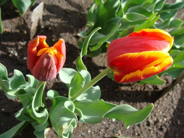 Тюльпаны - Страница 8 17263413_m
