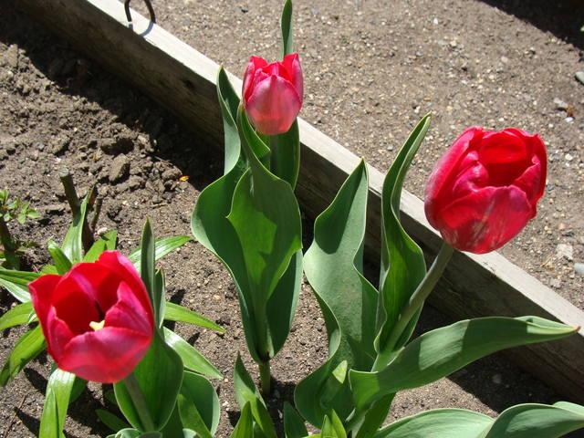 Тюльпаны - Страница 8 17308399_m