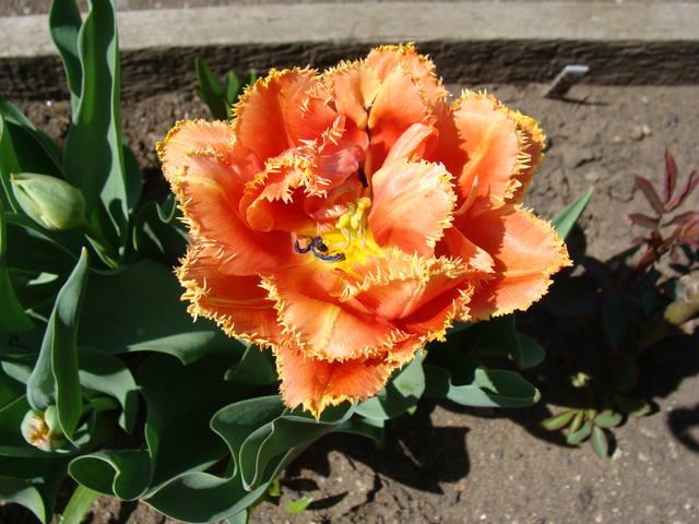 Тюльпаны - Страница 8 17308401_m