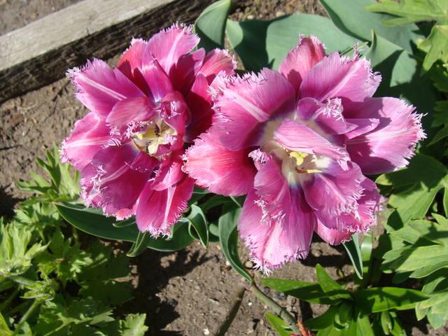 Тюльпаны - Страница 8 17308400_m