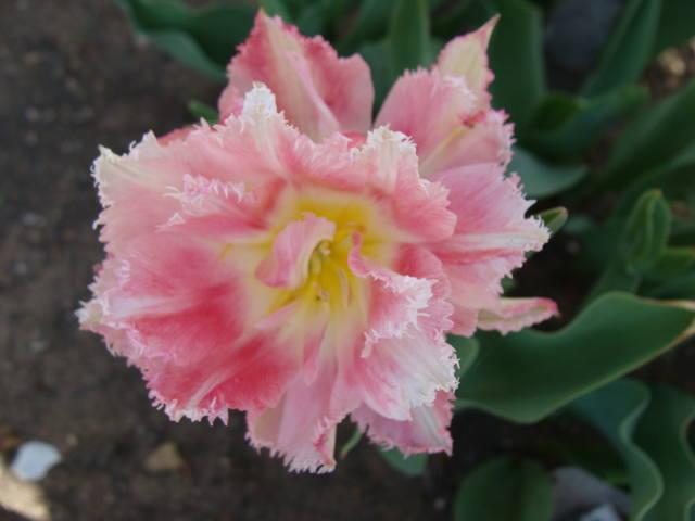 Тюльпаны - Страница 9 17331335_m