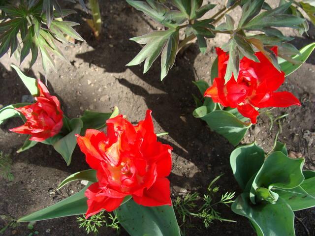 Тюльпаны - Страница 9 17331334_m