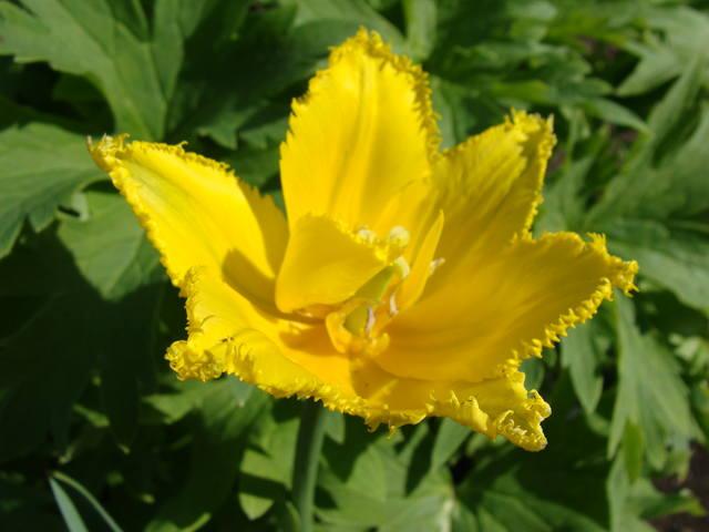 Тюльпаны - Страница 9 17331333_m