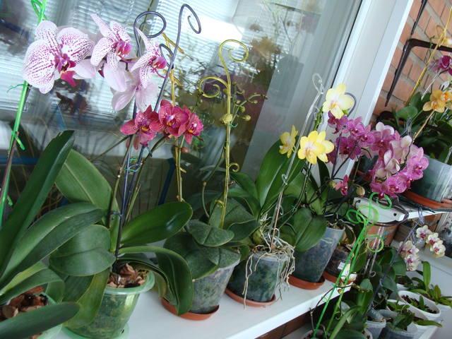 Орхидеи - Страница 16 17344791_m