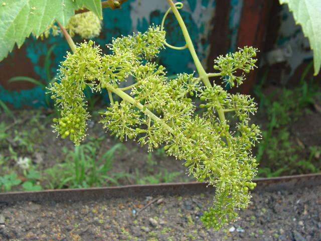 Виноград- секреты выращивания - Страница 31 17589008_m