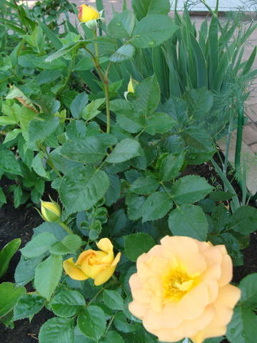 Розы цветут - Страница 39 17638963_m