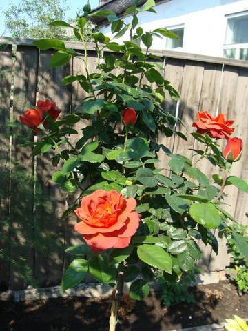 Розы цветут - Страница 39 17638962_m