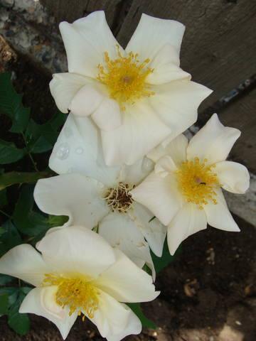 Розы цветут 17726440_m