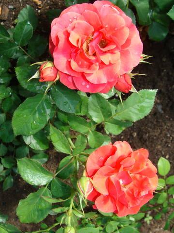 Розы цветут 17726445_m