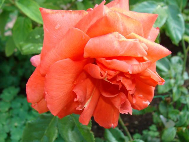 Розы цветут 17726447_m