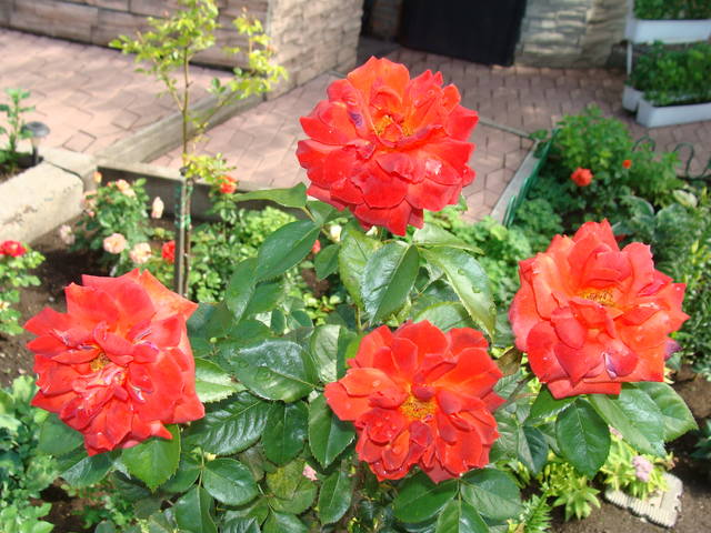 Розы цветут 17726448_m