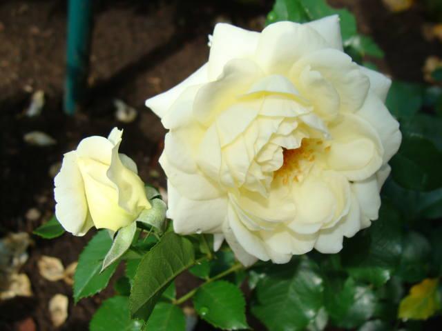 Розы цветут 17726463_m