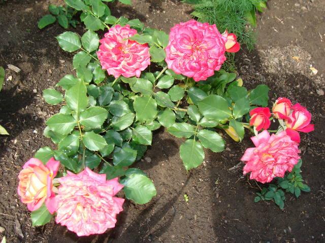 Розы цветут 17726465_m