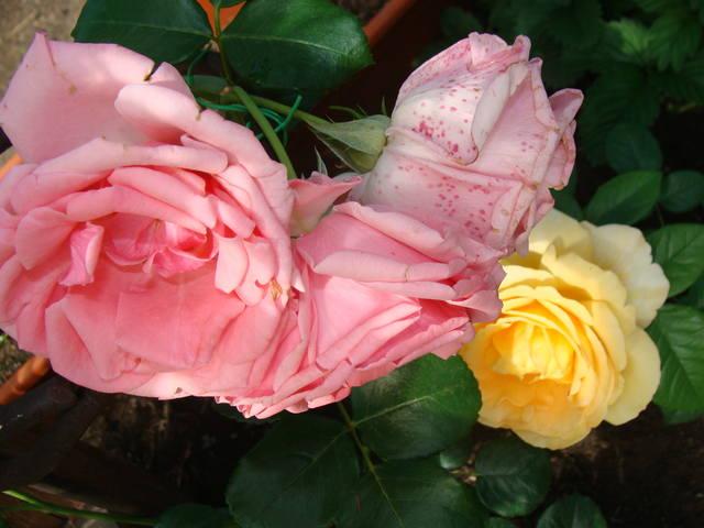 Розы цветут 17726471_m