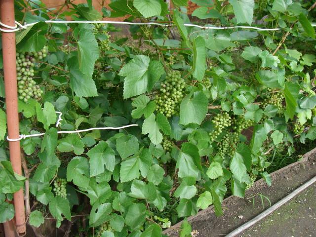 Виноград- секреты выращивания - Страница 31 18016802_m