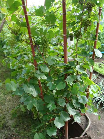 Виноград- секреты выращивания - Страница 31 18016804_m