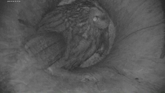 Estonian Tawny Owl Webcam 2017-2018 - Page 2 21269791_m