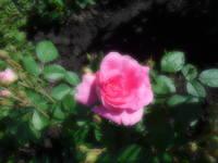 Розы цветут - Страница 13 22198681_s