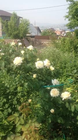 Розы цветут - Страница 13 22284744_m