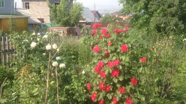 Розы цветут - Страница 13 22284774_m