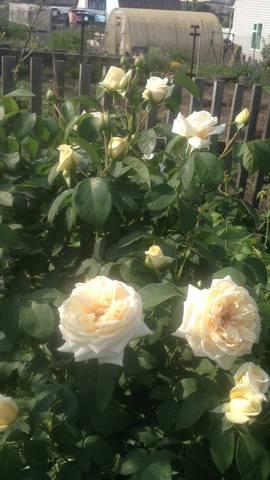 Розы цветут - Страница 13 22284872_m