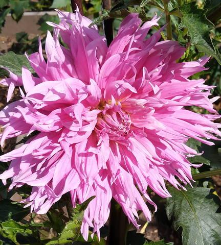 Георгины в цвету - Страница 36 22365944_m