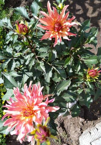 Георгины в цвету - Страница 36 22365945_m