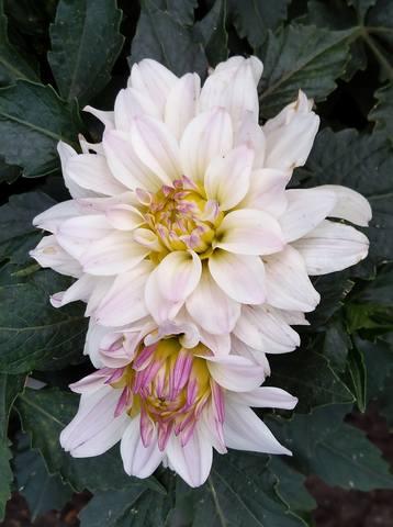 Георгины в цвету - Страница 36 22762088_m