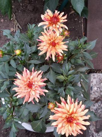 Георгины в цвету - Страница 36 22762087_m