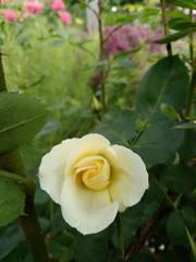 Канадские розы - Страница 2 22784042_m