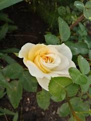 Канадские розы - Страница 2 22784057_m