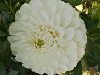 Георгины в цвету - Страница 36 22784119_m