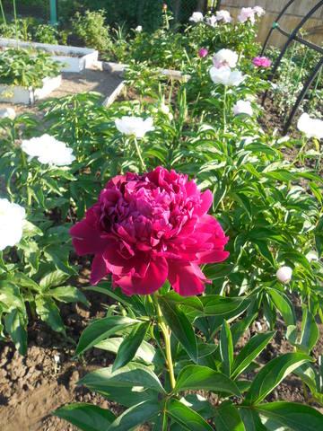 Продам растения 22930942_m