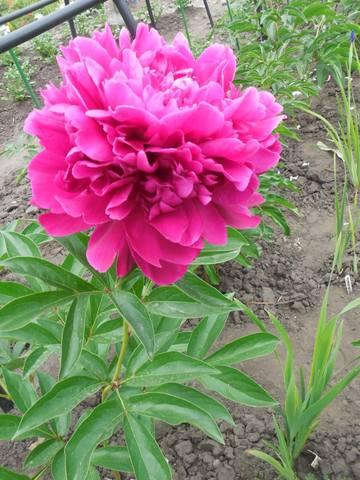 Продам растения 22930944_m