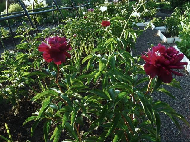 Продам растения 22930960_m