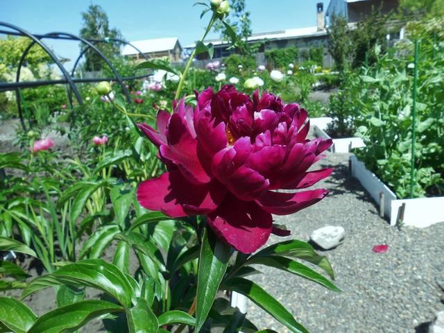 Продам растения 22930961_m