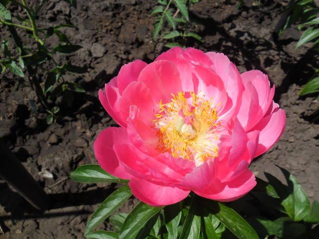 Продам растения 22930979_m