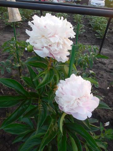 Продам растения 22940189_m