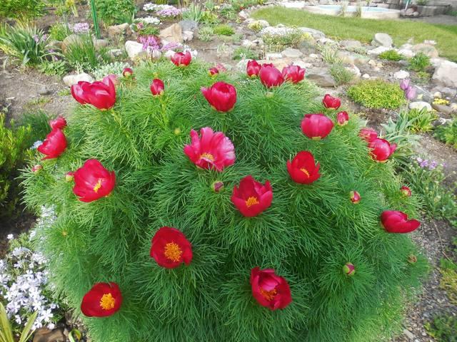Продам растения 22944905_m