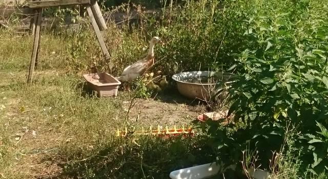 индийский - Индийские Бегуны - яичная порода уток - Страница 12 23106775_m