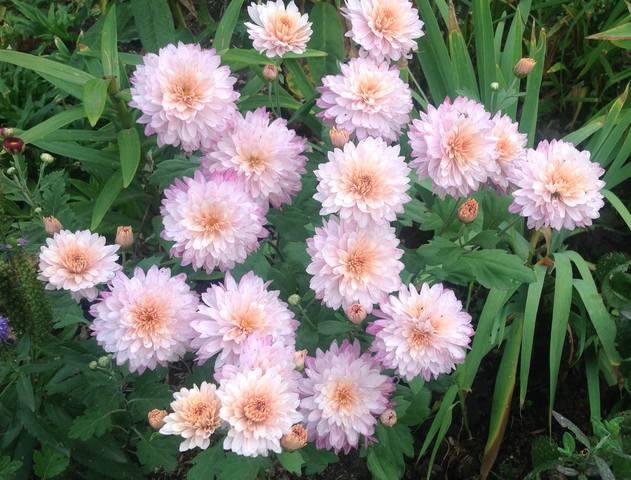 Хризантемы - Страница 20 23168350_m