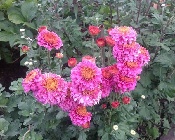 Хризантемы - Страница 20 23168353_m
