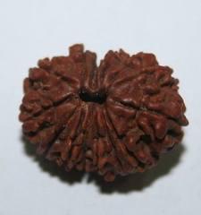 Плоды магического дерева рудракша 23586430_m