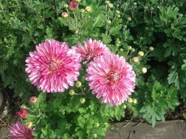 Хризантемы - Страница 20 23629804_m