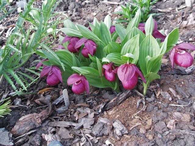 Редкие растения в наших садах - Страница 9 26909448_m