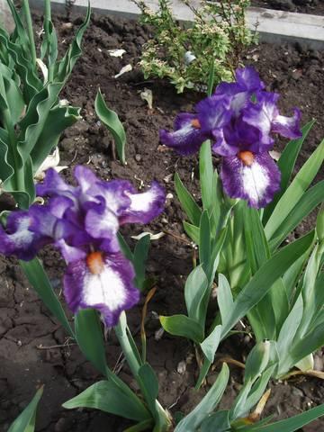Ирисы в наших садах - Страница 41 26915772_m