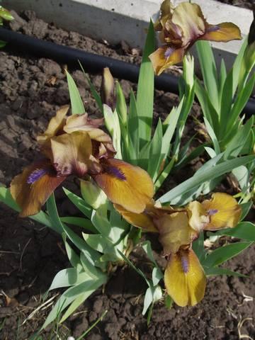 Ирисы в наших садах - Страница 41 26915771_m