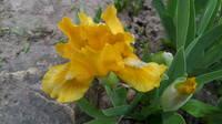 Ирисы в наших садах - Страница 41 27005449_s