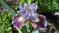 Ирисы в наших садах - Страница 41 27005472_s